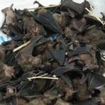 Saúde - Consumo de carne de morcego pode ter ajudado a deflagrar ebola
