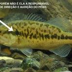 Como os Peixes Ouvem e Sentem?