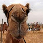 Saúde - Os camelos possuem em seu DNA , a chave para tratamento de asma e diabetes