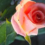 Entretenimento - Buquê de rosas