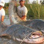 Animais - Top 10 maiores peixes de água doce do mundo