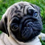 Cães com focinhos achatados têm mais probabilidade de ter problema ocular