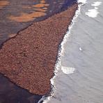 Após derretimento do gelo no Ártico, 35 mil morsas invadem praia no Alasca