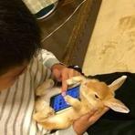 Smartphones e coelhos