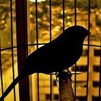 Opinião e Notícias - Os pássaros criados em gaiolas