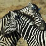 Ciência - Descubra agora: Zebra é branca com listras pretas ou preta com listras brancas?