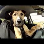 Conheça Porter, o primeiro cachorro a dirigir um carro