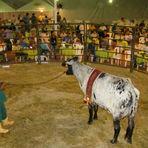 Animais - Cresce o mercado de leilão de gado no Brasil