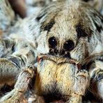 Animais - Curiosidades Sobre Aranhas-Lobo