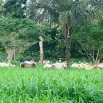 Memes - Na terra do boi, carne sustentável vira aposta de renda e preservação