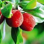 Yangmei | Fruta Nativa da China