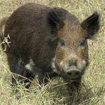 Animais - Porco toma 18 latas de cerveja, fica bêbado e briga com vaca