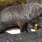 Focas estupram pinguins em ilha do Atlântico Sul