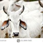 Animais - Bovinos de corte em confinamento - benefícios para a propriedade