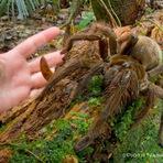 Curiosidades - Veja imagens assustadoras do maior aracnídeo do mundo, a aranha-golias-comedora-de-pássaros