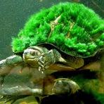 Animais - Vocês conhecem a Tartaruga Mary River?