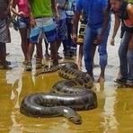 Sucuri de 6 metros e 100 kg é achada em praia da Bahia