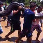 Vídeo - Cobra Sucuri monstra é encontrada por pescadores na Bahia