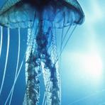 Ciência - Água-Viva pode Guardar a Chave para a Imortalidade