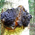 Inonotus obliquus, O incrivel cogumelo que combate o câncer
