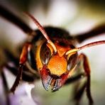 Conheçam a Vespa Matadora de abelhas