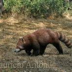 Os Ancestrais do Panda Vermelho
