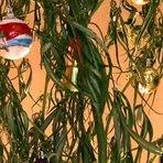 Curiosidades - Polícia encontra pé de maconha decorado para o Natal no Paraná