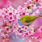 Sakura - A festa das flores