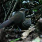 O jacu-estalo-escamoso, Ave rara da Amazônia
