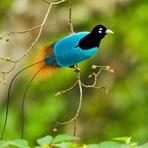 Aves do Paraíso: Um show de Cores