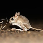 Vocês conhecem o Rato-Canguru?