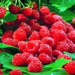 Framboesa |  Características, vitaminas, benefícios e propriedades.