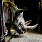 Os Últimos dos Rinocerontes Brancos do Norte