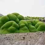 Yareta, uma das Plantas mais Antigas do Mundo