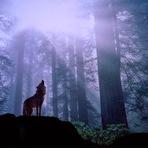 Como lobo solitário