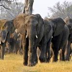 Animais - Líder entre animais é o que explicita a vontade da maioria