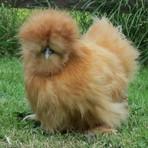 Animais - Conheça a galinha Silkie