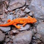 Animais - Fungo da Ásia ameaça salamandras europeias