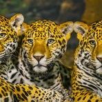 Animais - O conflito entre grandes felinos e pessoas no Brasil