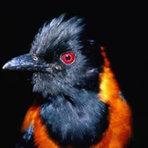 Pitohui: a primeira ave venenosa descoberta pela ciência.