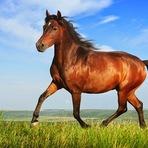 Uso humano influenciou evolução genética do cavalo