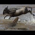 A maior migração animal do mundo ...