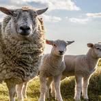 Pesquisador quer usar ovelhas para levar Wi-Fi a áreas rurais