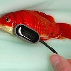 Dono de peixinho dourado paga R$ 1,2 mil para livrá-lo de constipação intestinal