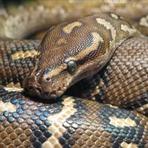 Polêmica Americano cria as filhas com cobra píton de quatro metros