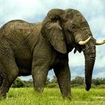 Animais - 20 fatos interessantes sobre elefantes