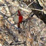 Animais - Meio-macho, meio-fêmea: A ave de vida dupla