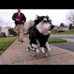 Animais - Graças a prótese, cão corre pela primeira vez!