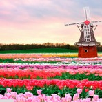 As tulipas da Holanda