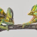 Animais - Um duelo de camaleões